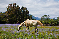A beige horse grazing on the grounds of Kilohana Plantation