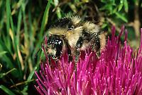 Waldhummel, Bombus sylvarum, Shrill carder bee, Wildbiene des Jahres 2016