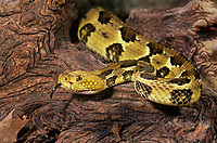 467450002 a captive timber rattlesnake crotalus horridus horridus explores a large fallen log species is a venomous pit viper found in forests and rock outcrops in the east and southeastern united states