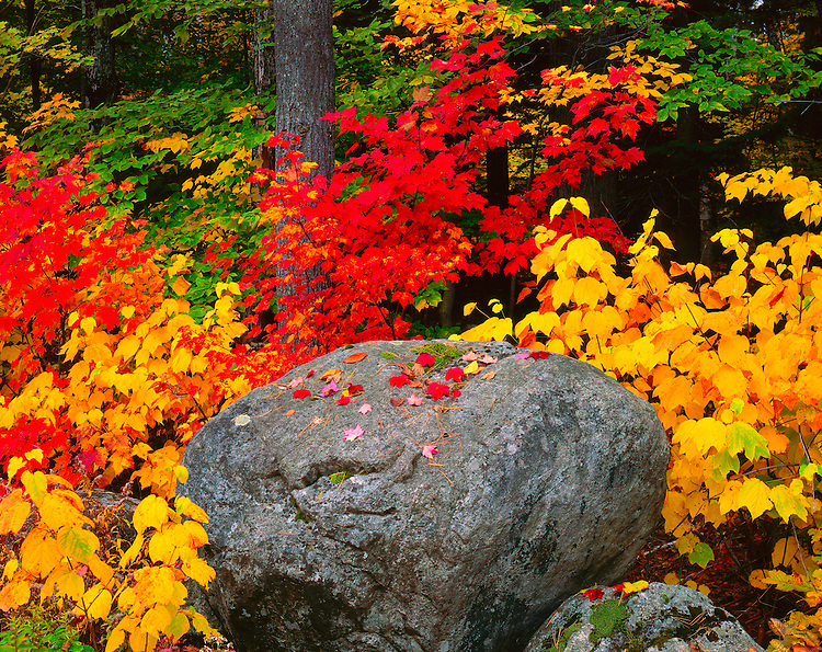 Maple trees in fall color in the Pharoh Lake Wilderness; Adirondack Park & Preserve, NY