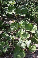 Gewöhnliche Pestwurz, Pest-Wurz, Blätter erscheinen nach der Blüte, Blatt, Petasites hybridus, Butterbur, Umbrella Plant