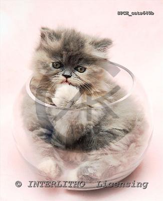 Xavier, ANIMALS, cats, photos, SPCHcats640b,#A#