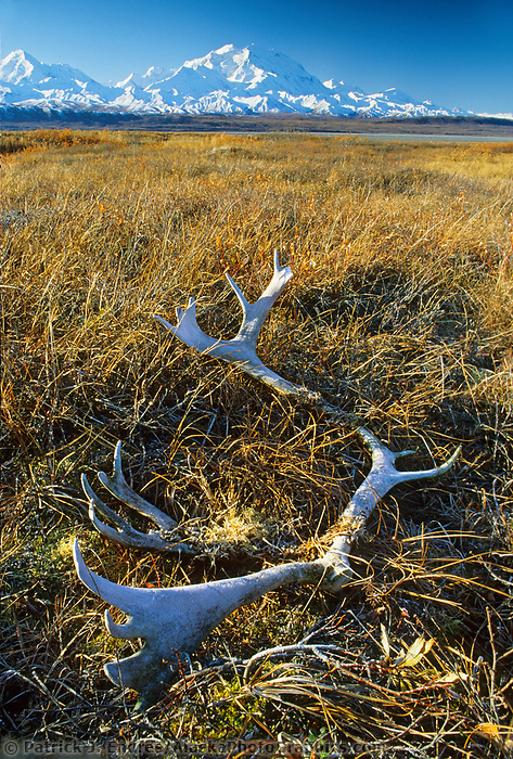 20, 3020+ Ft. Mt. Denali, Caribou Antlers On Autumn Tundra, Denali National Park, Alaska