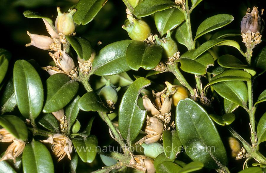 Europäischer Buchsbaum, Gewöhnlicher Buchsbaum, Buchs, Früchte, Buxus sempervirens, Boxwood, Commen Box