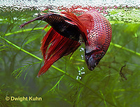BY05-031z  Siamese Fighting Fish - male mating with egg laden female - Betta splendens