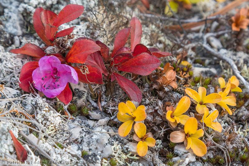 Kamchatka rhododendron, Rhododendron camtschaticum, Bering Land Bridge National Preserve, Seward Peninsula, Alaska.