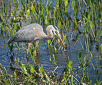 Great Blue Heron with frog in beak, splashing