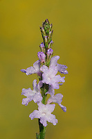Texas Vervain (Verbena halei), blossom dew covered, Fennessey Ranch, Refugio, Corpus Christi, Coastal Bend, Texas Coast, USA