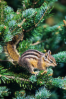 Yellow-pine Chipmunk (Tamias amoenus) on subalpine fir branch.  Pacific Northwest.