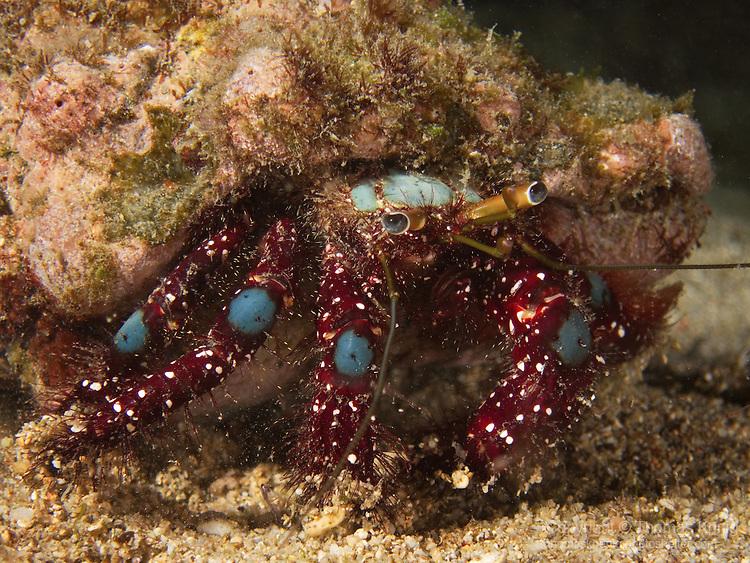 Kenting, Taiwan -- Blue Knee Hermit Crab (Dardanus guttatus)