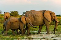 Elephants, Kwando Concession, Linyanti Marshes, Botswana.