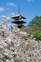 In April, the cherry blossoms add a colorful sense of  spring to the  pagodas and other strucutres of the many shrines and temples in Kyoto.