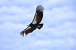 California Condor (Gymnogyps californianus) nine year old male flying, Big Sur, California
