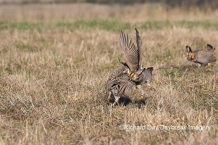 00842-05917 Greater Prairie-Chickens (Tympanuchus cupido) males fighting-territorial dispute on lek Prairie Ridge State Natural Area, Marion Co. IL