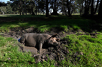 Pannage porkers feel the heat in the New Forest