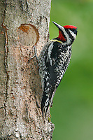 Yellow-bellied Sapsucker - Sphyrapicus varius - Adult male