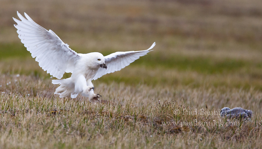 Male_food_delivery<br /> A male Snowy Owls flies in to deliver a small lemming to a young owlet far from the nest on the tundra.