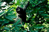 Manaus, Brazil. Woolly monkey swinging through the trees. Amazon.
