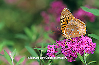 03322-00210 Great Spangled Fritillary butterfly (Speyeria cybele) on Butterfly Bush (Buddleia davidii) Marion Co.   IL