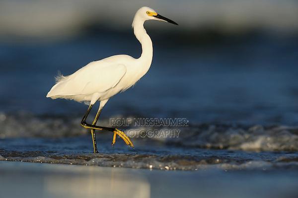 Snowy Egret (Egretta thula),adult, Port Aransas, Mustang Island, Texas Coast, USA