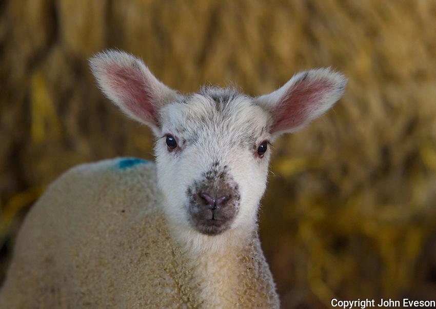 A newly born Mule lamb in a straw yard, Chipping, Preston, Lancashire.