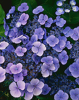 Vashon Island, WA<br /> Detail of blue blossoms of lacecap Hydrangea (Hydrangea macrophylla)