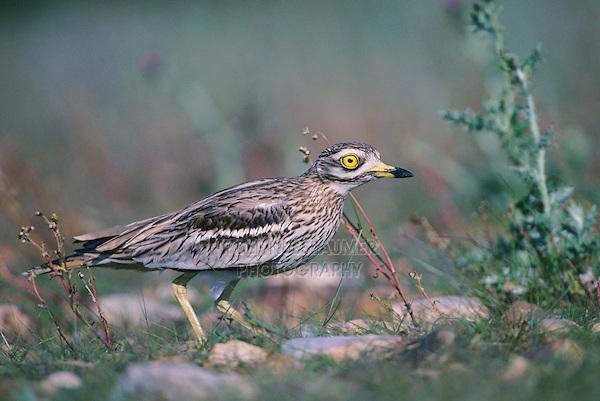Eurasian Thick-Knee, Burhinus oedicnemus, adult on nest, Crau, France, May 1993