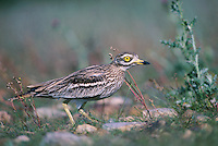 Eurasian Thick-Knee, Burhinus oedicnemus, adult on nest, Crau, France, May 1993