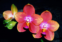 Phalaenopsis Zuma Aussie Delight 'Zuma Canyon' AM/AOS orchid hybrid of Sweet Memory x venosa, fragrant orchid