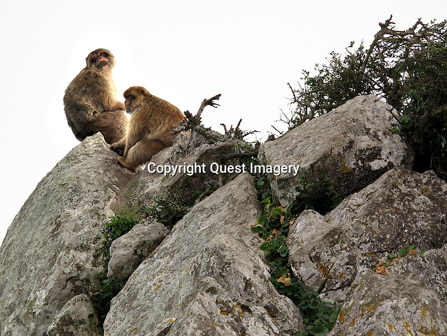 Monkeys on the Upper Rock of the Rock of Gibraltar.<br /> <br /> The monkeys (Barbary Macaques) population in Gibraltar is the only one in the whole of the European continent, and, unlike that of North Africa, it is thriving. At present there are some 300 animals in five troupes occupying the area of the Upper Rock, though occasional forays into the town may result in damage to personal property. <br /> <br /> Gibraltar is a British overseas territory located on the southern end of the Iberian Peninsula at the entrance of the Mediterranean. It has an area of 2.6 square miles and a northern border with Andalusia, Spain. <br /> <br /> The Rock of Gibraltar is the major landmark of the region. At its foot is the densely populated city area, home to almost 30,000 Gibraltarians and other nationalities.<br /> photo by Quest Imagery