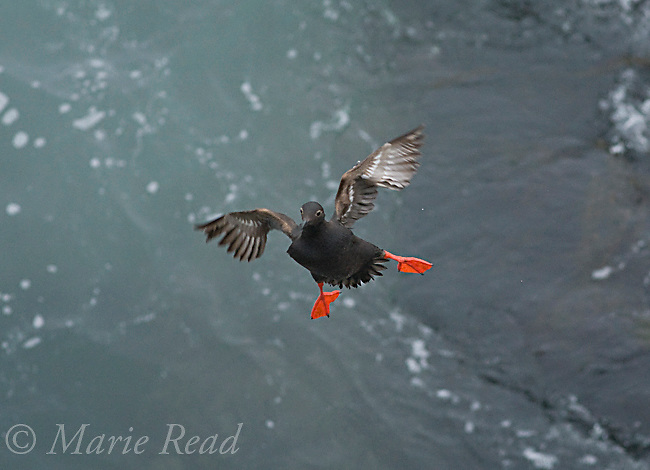 Pigeon Guillemot (Cepphus columba), flying in to land, Montana De Oro State Park, California, USA