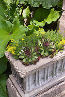 Sempervivum and sedum in concrete pot container