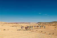 Camels have been an important part of the Holy Land dating back to Biblical times. Remote Bedouin in the Negev desert still rely on the camel as they have for centuries, but the large caravans of antiquity crossing the Negev desert are a thing of the past, replaced by the new Japanese camel…the Toyota.