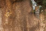 Leopard in a tree, Mashatu Reserve, Botswana