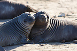 Elephant seal weaners play at Ano Nuevo State Park