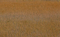 OCHOPEE, FLORIDA; OCTOBER 4, 2010; Grasses in the Florida Everglades near Ochopee, Florida. Photo by Matt May