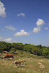 Israel, Lower Galilee. Cows at the foothill of Mount Atzmon