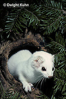 MA05-036x  Short-Tailed Weasel - ermine exploring tree cavity for prey in winter - Mustela erminea