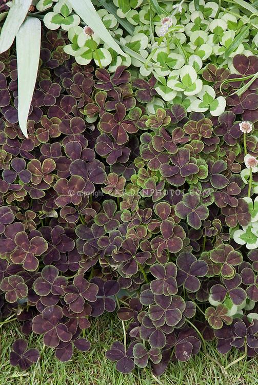 Clover white and purple forms of Trifolium repens side by side, 4 leaf clover 'Purpurascens Quadrifolium'