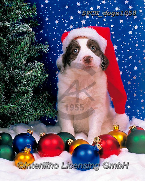 Xavier, CHRISTMAS ANIMALS, WEIHNACHTEN TIERE, NAVIDAD ANIMALES, photos+++++,SPCHDOGS1058,#xa# ,dog