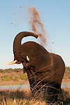 Elephant takes a dust bath after bathing in the Chobe River, Botswana.
