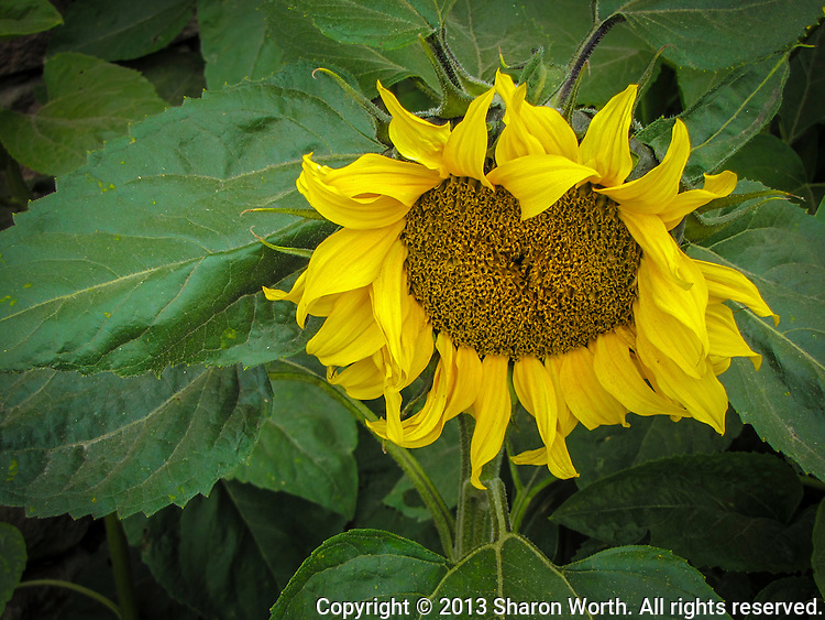 An evolving sunflower, its petals beginning to dry and curl.