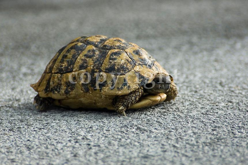 Turtle on a mountain road at Rijeka Crnojevica, Montenegro, Europe