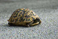 Turtle on a mountain road at Rijeka Crnojevica, Montenegro, Europe