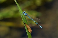 338430005 a wild male california dancer argia argioides perches on a grass stem along the frenchmans flat area of piru creek in los angeles county california united states