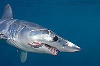 mako shark, Isurus oxyrinchus, Cape Point, South Africa