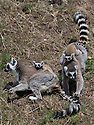 16/05/16<br /> <br /> &quot;Carry me mum - I'm tired&quot;<br /> <br /> Three baby ring-tail lemurs began climbing lessons for the first time today. The four-week-old babies, born days apart from one another, were reluctant to leave their mothers&rsquo; backs to start with but after encouragement from their doting parents they were soon scaling rocks and trees in their enclosure. One of the youngsters even swung from a branch one-handed, at Peak Wildlife Park in the Staffordshire Peak District. The lesson was brief and the adorable babies soon returned to their mums for snacks and cuddles in the sunshine.<br /> All Rights Reserved F Stop Press Ltd +44 (0)1335 418365