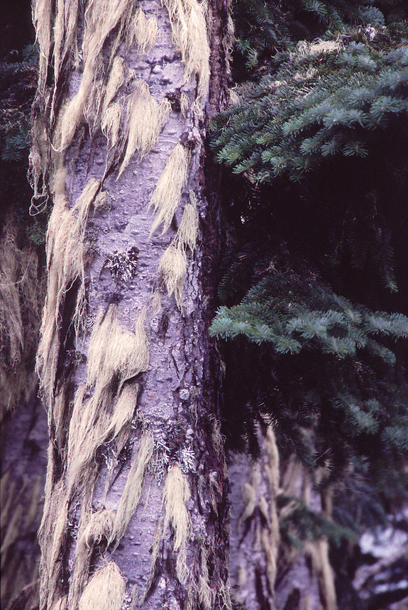 Epiphytes on Sitka Spruce (Picea sitchensis) Tree, Mt. St. Helens National Volcanic Monument, Washington, US