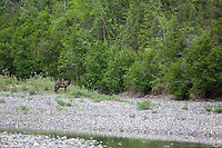 Black, female gray wolf stands on the gravel bar of the Koyukuk River, arctic Alaska.