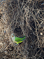A Monk parakeet hangs out at its nest site.